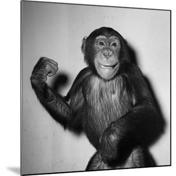 A Chimp, 1955-null-Mounted Photographic Print