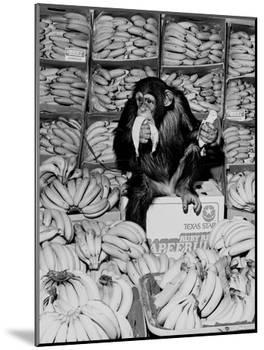 A Chimpanzee in Paradise-Staff-Mounted Photographic Print