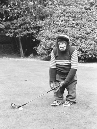 A Chimpanzee playing a round of golf-Staff-Photographic Print
