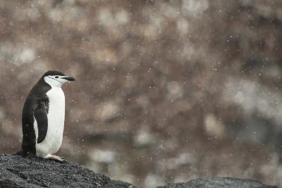 A Chinstrap Penguin, Pygoscelis Antarctica, in a Light Snow Shower-Kent Kobersteen-Photographic Print