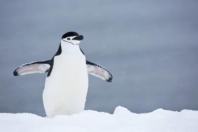 A Chinstrap Penguin Walking in a Snow Shower-Ira Meyer-Photographic Print