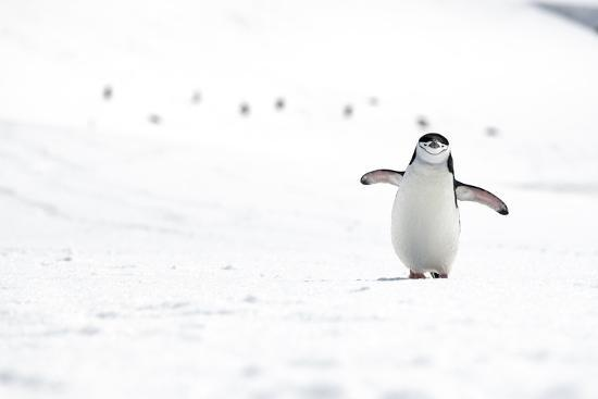 A Chinstrap Penguin Walks Towards a Nesting Site for the Breeding Season-Doug Gimesy-Photographic Print