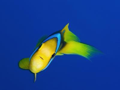 A Clarks Anemonefish, Amphiprion Clarkii-Mauricio Handler-Photographic Print