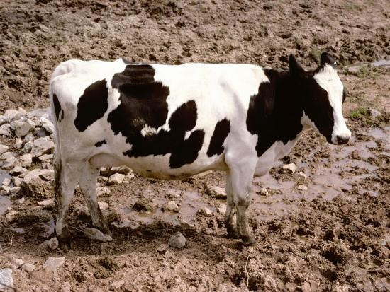 A Classic Dairy Cow in Full Profile-Stephen St^ John-Photographic Print