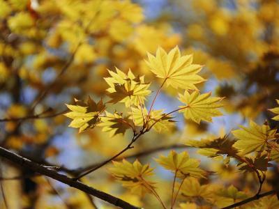 A Close Look at Japanese Maple Trees-Darlyne A^ Murawski-Photographic Print