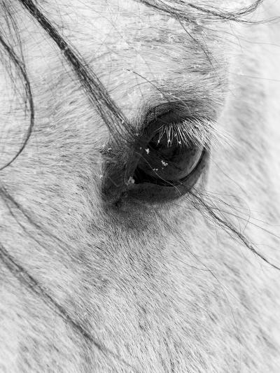 A Close Shot of a Horses Eye with Snow Flakes Taken in Alberta, Canada.-Wayne Simpson-Photographic Print