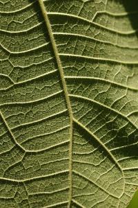 A close up image of a leaf of a wild plant. Lawachara, Sylhet, Bangladesh. June 29, 2008. (photo)
