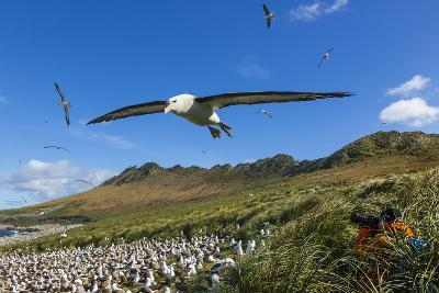 A Close Up of a Black-Browed Albatross in Flight on Steeple Jason Island in the Falkland Islands-Ralph Lee Hopkins-Photographic Print