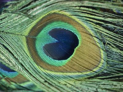 A Close-up of a Peacock Feather-Todd Gipstein-Photographic Print