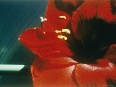 https://imgc.artprintimages.com/img/print/a-close-up-of-a-red-flower_u-l-p4tyc40.jpg?p=0
