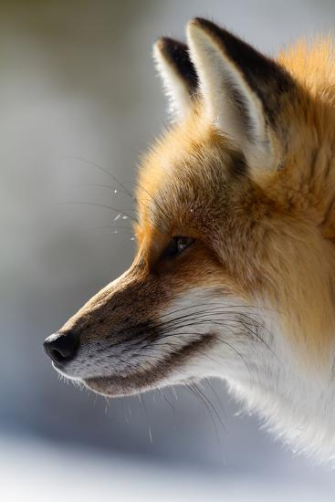 A Close-Up Of A Red Fox, Vulpes Vulpes, Looking Inquisitive And Watchful-Greg Winston-Photographic Print