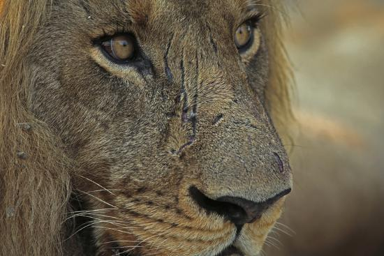 A Close Up of a Scared Male Lion, Panthera Leo-Beverly Joubert-Photographic Print