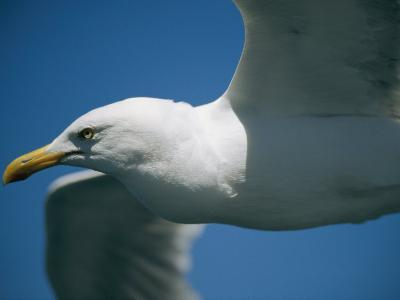 A Close-up of a Seagull in Flight-Todd Gipstein-Photographic Print