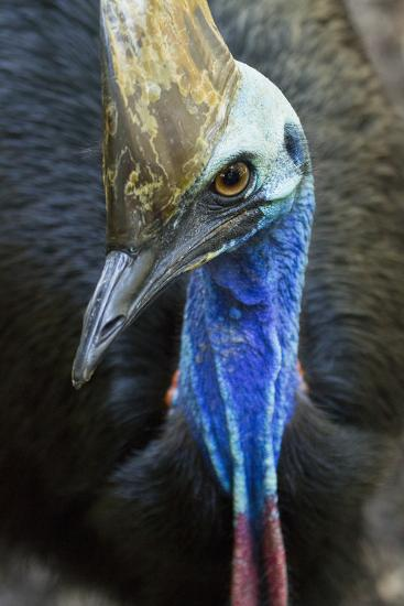 A Close Up of a Southern Cassowary-Michael Melford-Photographic Print