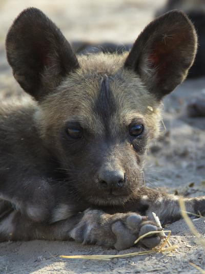 A Close-Up of an African Wild Dog Pup, Lycaon Pictus-Beverly Joubert-Photographic Print