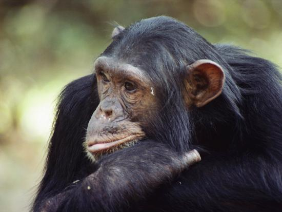 A Close-up of One of the Many Chimpanzees That were Studied by Researcher Jane Goodall-Kenneth Love-Photographic Print