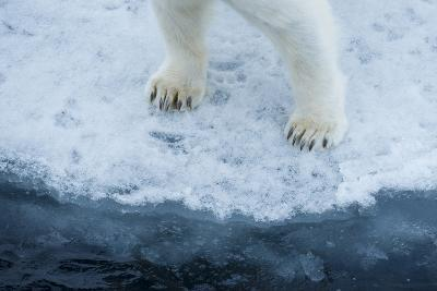 A Close Up of Polar Bear Front Feet and Legs, Standing on the Edge of Drift Ice-Michael Melford-Photographic Print