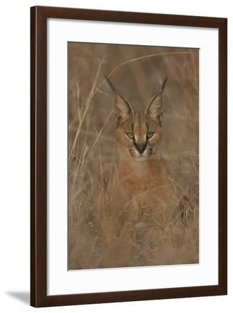 A Close Up Portrait of a Caracal, Felis Caracal, in Tall Grass-Cagan Sekercioglu-Framed Photographic Print