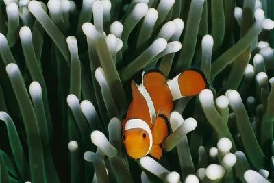 A Close-View Image of a False Clown Anemonefish (Amphiprion Ocellaris)-Wolcott Henry-Wall Mural
