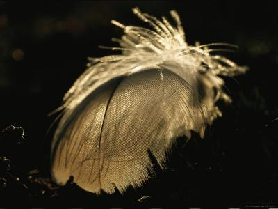 A Close View of a Backlit Feather-Norbert Rosing-Photographic Print