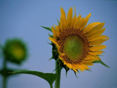 A Close View of a Blossoming Sunflower-Medford Taylor-Photographic Print