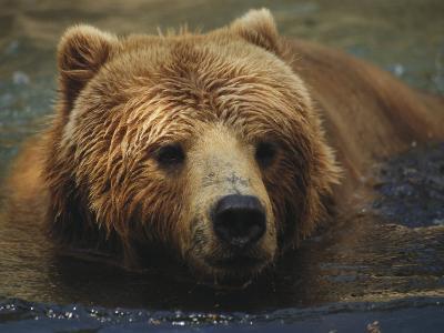 A Close View of a Captive Kodiak Bear Swimming-Tim Laman-Photographic Print