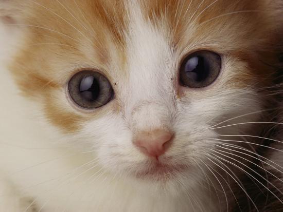 A Close View of a Cat-Michael Nichols-Photographic Print