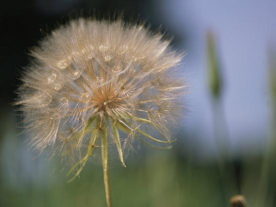 A Close View of a Dandelion Seed Head-Heather Perry-Photographic Print