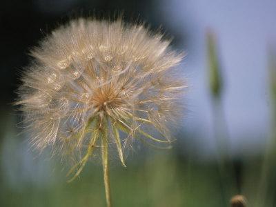 https://imgc.artprintimages.com/img/print/a-close-view-of-a-dandelion-seed-head_u-l-p3jupb0.jpg?p=0