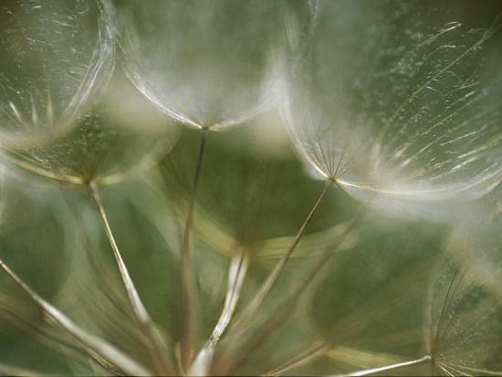 A Close View of a Dandelion Seed Head-Raul Touzon-Photographic Print