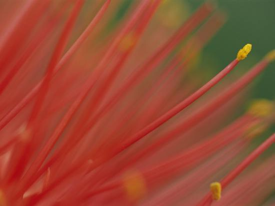 A Close View of a Fireball Lily Flower-Chris Johns-Photographic Print