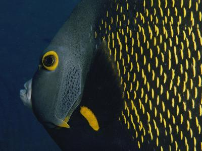 A Close View of a French Angelfish-Bill Curtsinger-Photographic Print