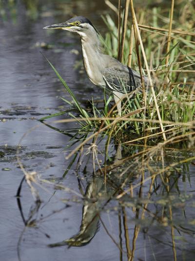 A Close View of a Green Heron-Jason Edwards-Photographic Print