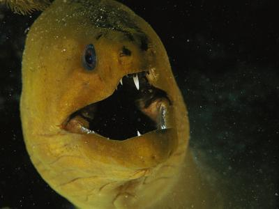 A Close View of a Green Moray Eel-Bill Curtsinger-Photographic Print