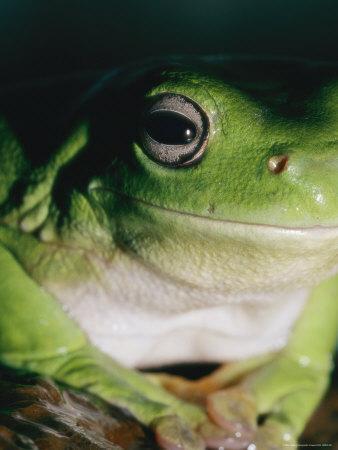 https://imgc.artprintimages.com/img/print/a-close-view-of-a-green-tree-frog_u-l-p4ty1d0.jpg?p=0