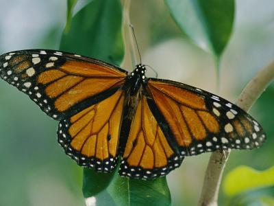 A Close View of a Intricately Patterned Monarch Butterfly-Joel Sartore-Photographic Print