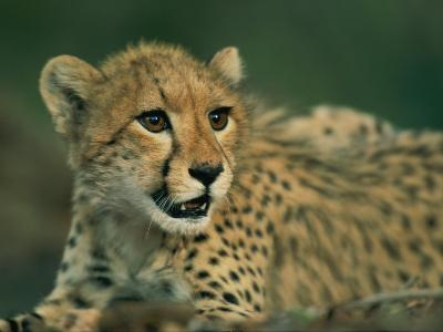 A Close View of a Juvenile African Cheetah-Chris Johns-Photographic Print