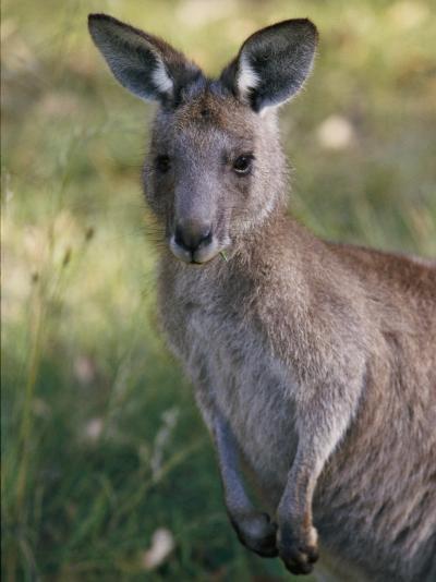 A Close View of a Kangaroo-Nicole Duplaix-Photographic Print