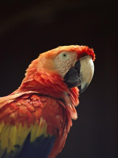 A Close View of a Macaw-Kenneth Garrett-Photographic Print