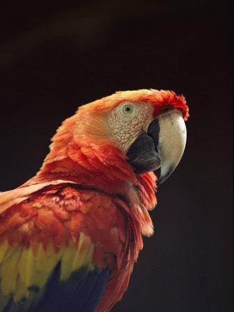 https://imgc.artprintimages.com/img/print/a-close-view-of-a-macaw_u-l-p4f9na0.jpg?p=0