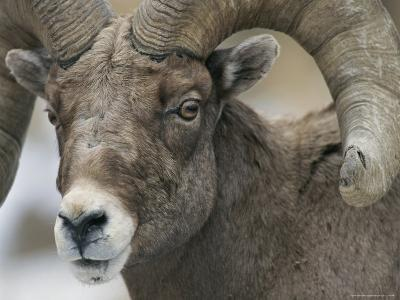 A Close View of a Male Bighorn Sheep-Tom Murphy-Photographic Print