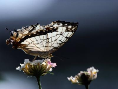 A Close View of a Map-Wing Butterfly on a Flower-Tim Laman-Photographic Print