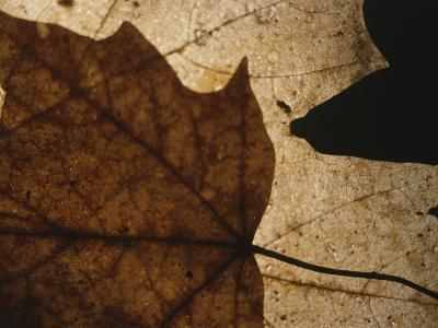 A Close View of a Maple Leaf in Fall Colors-Roy Gumpel-Photographic Print