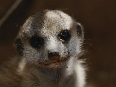 A Close View of a Meerkat (Suricata Suricatta) Pup-Mattias Klum-Photographic Print
