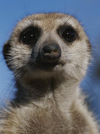 A Close View of a Meerkat (Suricata Suricatta)-Mattias Klum-Photographic Print