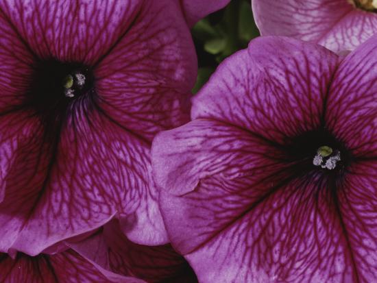 A Close View of a New Variety of Pink Petunias-Jonathan Blair-Photographic Print