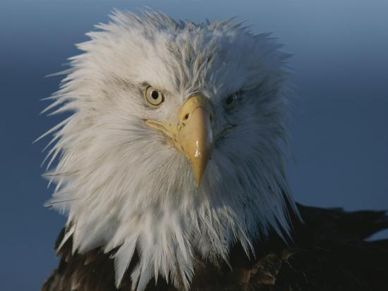 A Close View of a Northern American Bald Eagles Drying and Full-Feathered Head-Norbert Rosing-Photographic Print