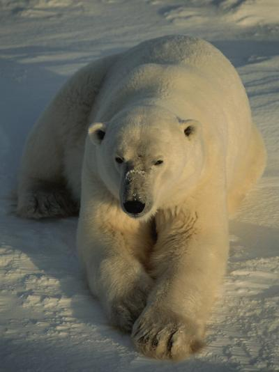 A Close View of a Polar Bear Resting on Ice-Tom Murphy-Photographic Print
