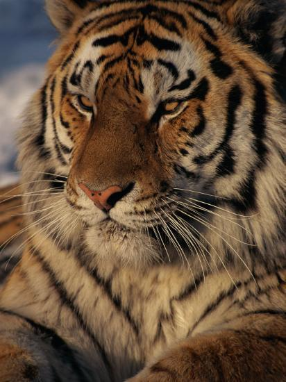 A Close View of a Proud Siberian Tiger-Marc Moritsch-Photographic Print