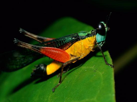 A Close View of a Rainforest Grasshopper-Tim Laman-Photographic Print
